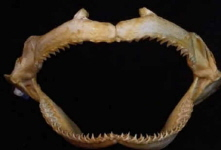 Shark-jaws